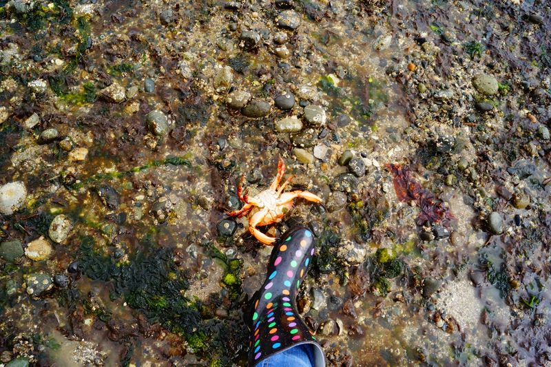Red Rock Puget Sound Crab
