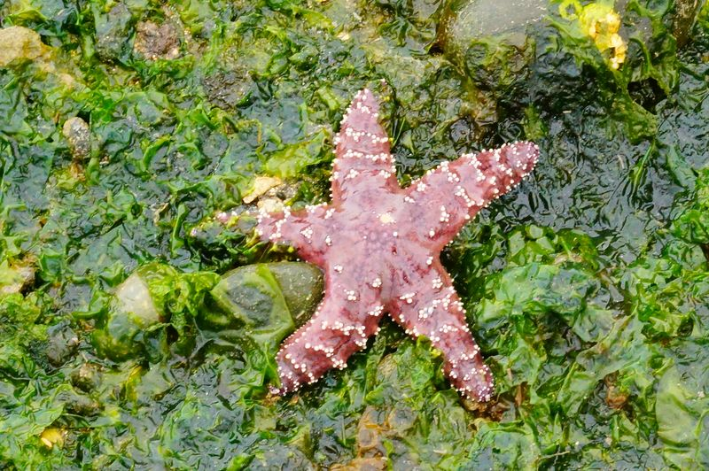 Puget Sound Sea Star