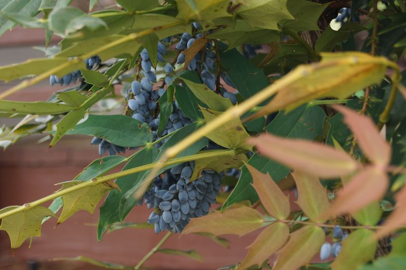 Ripe Oregon Grape