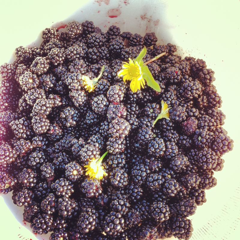 Blackberries from Titlow Park
